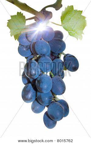 Vine Blue Grapes