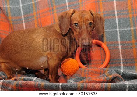 Dachshund breed of dog, a young female. Dog sitting on the couch with his toys, ball and ring. Close