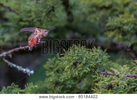 Female Rufous Hummingbird feeding on wild salvia.