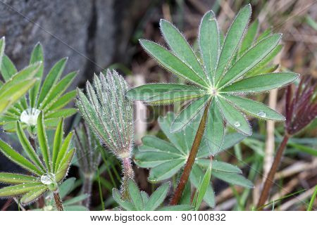 Lupine Leafs In Different Shapes And Water Drops