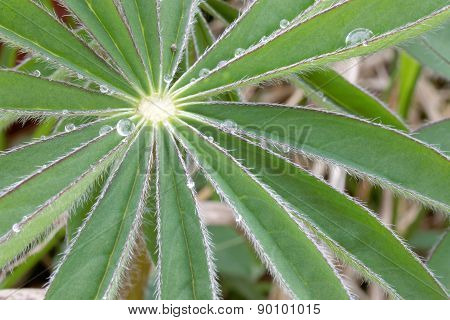 Lupine Leafs And Water Drops