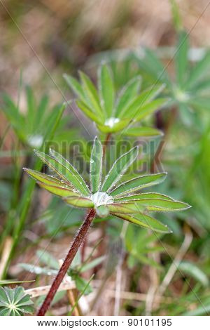 Many Lupine Leafs And Water Drops
