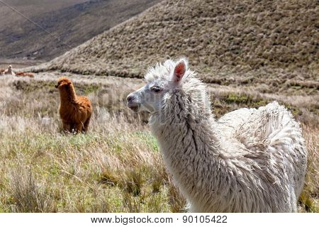 Close Up Of Beautiful Llama In Chimborazo National Park, South America