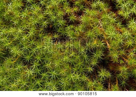 Close up shallow focus on green spikes of Star Moss poster