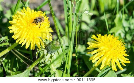 Dandelion and bee on grass background