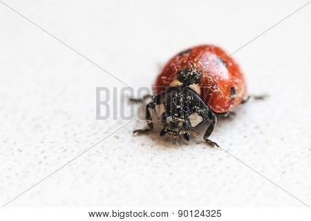 Ladybug After Hibernation