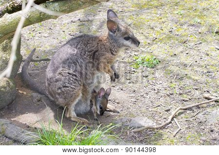 Tammar Wallaby (macropus Eugenii) With Baby