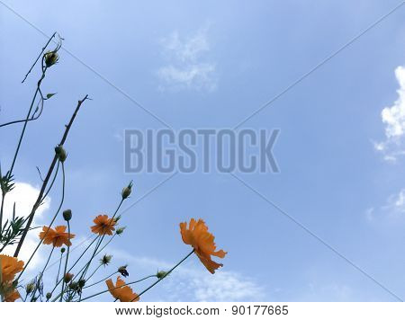 Cosmos flower with blue sky  for the beautiful garden decoration.