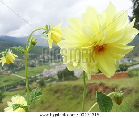 Yellow flowers  for the beautiful garden decoration.
