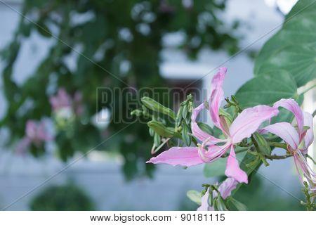 Purple Bauhinia  for the beautiful garden decoration.