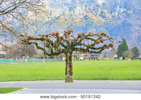 Sprouting Plane Tree In Interlaken, Switzerland