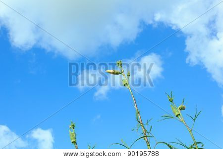 Okra flower with blue sky  for the beautiful garden decoration.