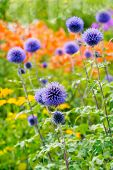 Globe thistles in the summer garden.  Botanical name is Echinops ritro poster