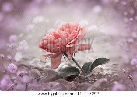 One Rosy Rose Flower At The Stony Beach, Gypsophila Frame