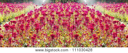 Red Cockscombs Flower