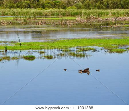 Peaceful Beelier wetlands with it's green landscape of reeds and mudflats with a Momma duck and her ducklings in Western Australia. poster