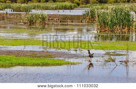 Beelier Wetlands: Tail Flick of the Purple Swamphen