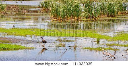Beelier Wetlands: Purple Swamphen