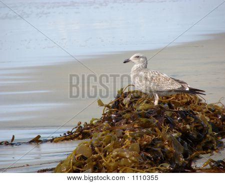 Seagull On Kelp