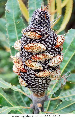 Banksia Fruit: Velvety Follicles