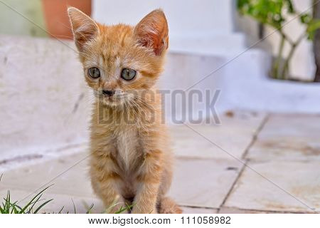 Closeup Carroty Or Rufous Little Fluffy Kitten
