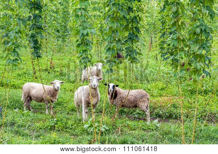 Sheep farming and viticulture in NZ