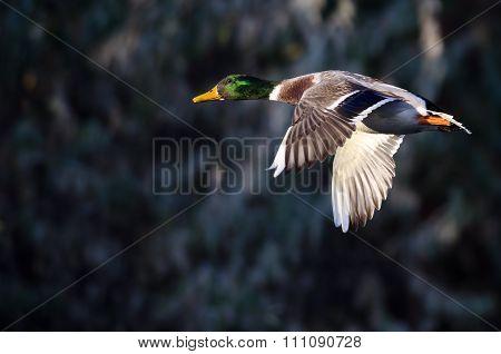 Close Look At A Male Mallard Duck In Flight