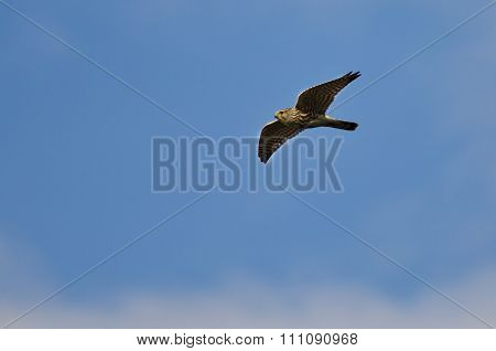 Merlin Falcon Flying In A Blue Sky