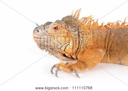 Portrait Of Ordinary Iguanas (red Morph)..