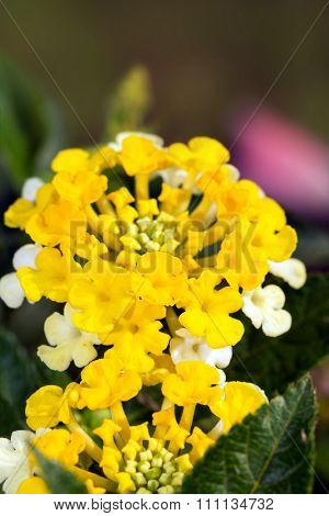Bright yelllow Lantana flower cluster