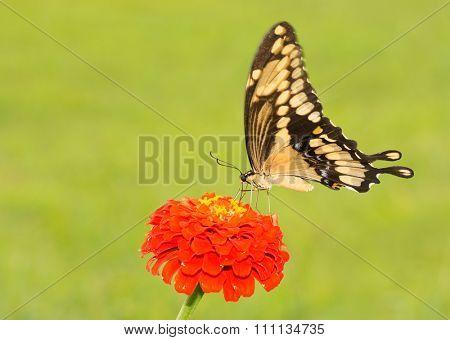 Giant Swallowtail butterfly on an orange Zinnia
