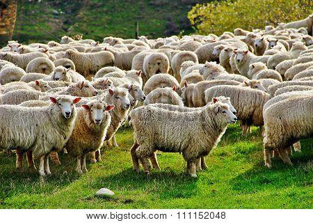 NZ sheep in big flock
