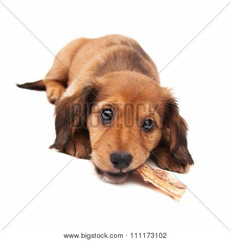 Dachshund Puppy Lying Isolated