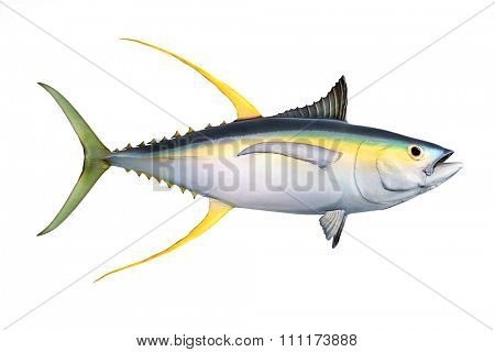 Yellow fin Tuna (Thunnus albacares) isolated on white background.
