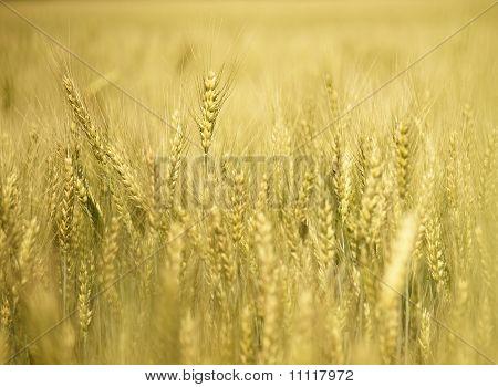 Golden Field Of Wheat