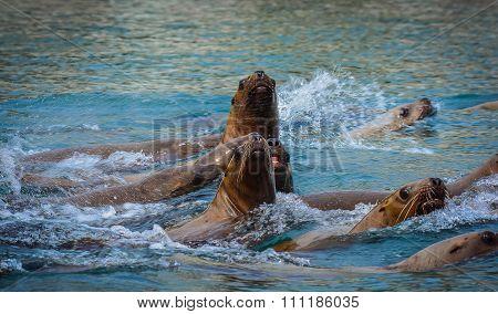 Juvenile Sea Lions
