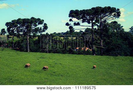 Campos do Sul do Brasil