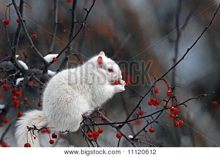 Albino squirrel eating berries
