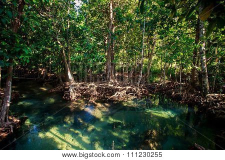Green Mangrove Trees With Interlaced Roots Under Sunlight