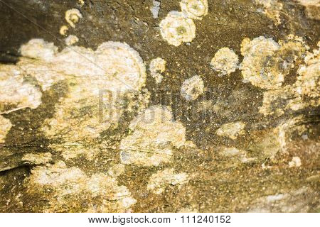 Detail Of Yellow Lichens Growing On Tree Bark