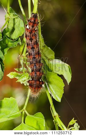 Caterpillar Of Golden Emperor Moth