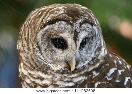 Close up portrait of Barred Owl (Strix Varia) poster