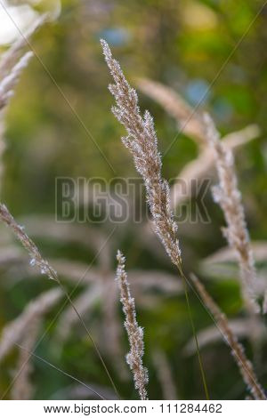 Foxtail Grass