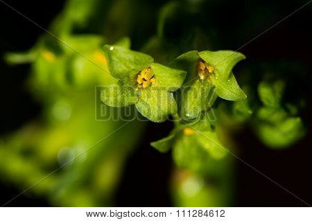 Spurge laurel (Daphne laureola) flowers close-up