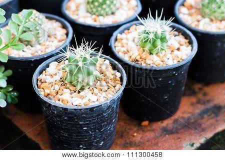 Cactus In Pots In Home Garden