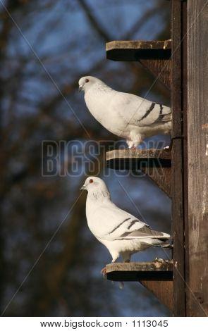 Pigeons, Doves In Dovecot