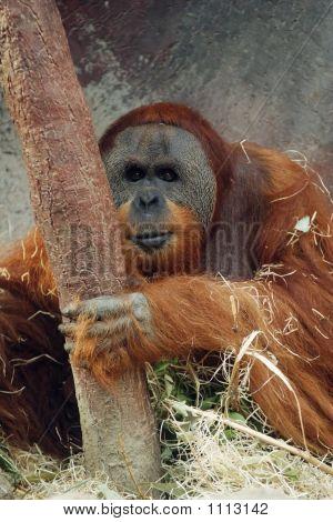 Orangutan, Pongo Pygmaeus Abelii