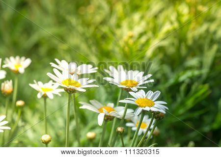 Macro Of Beautiful White Daisies Flower In Garden For Texture Background