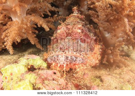 Scorpionfish camouflaged amongst coral