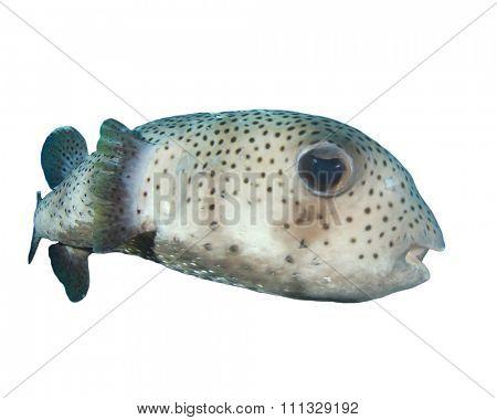 Porcupinefish isolated on white background